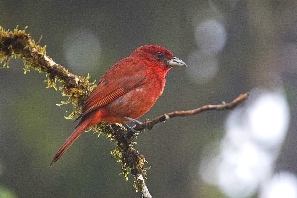 Hepatic Tanager Hepatic Tanager