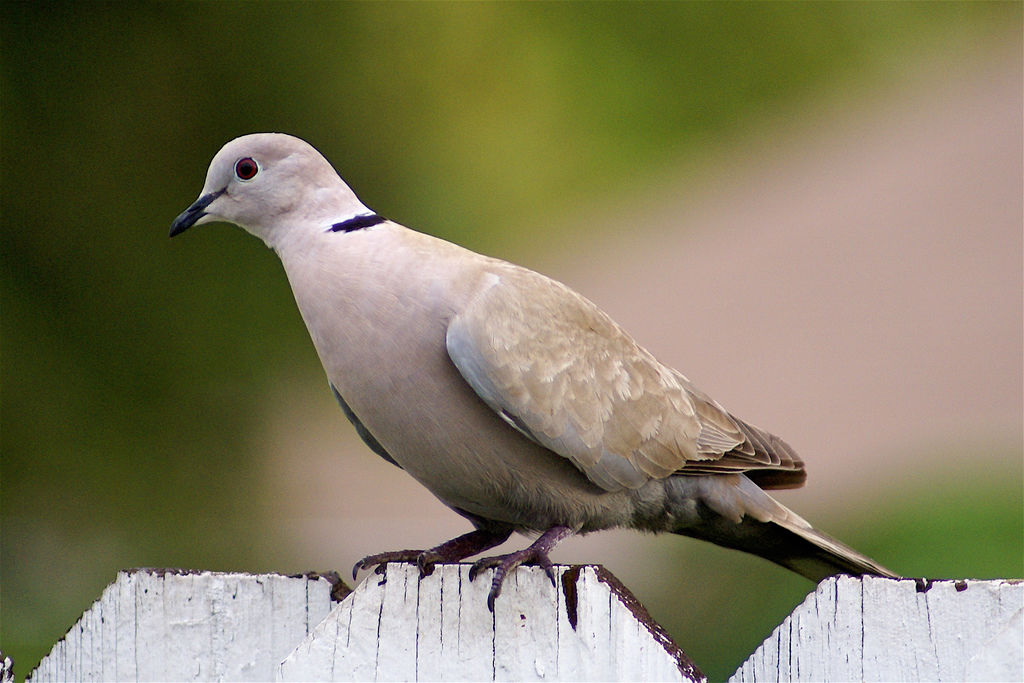 Variation In Birds Ringed Turtle-Dove or ...