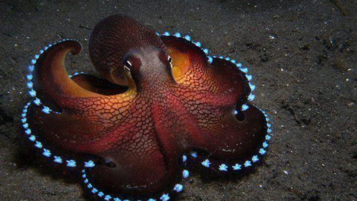 The amphioctopus marginitus (image uploaded to reddit by u/Ch1ckyB00).