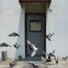 Michael Wang, Rock Pigeons, 2010, color photograph (trained homing and feral pigeons), dimensions variable, trained homing pigeons, and feral pigeons