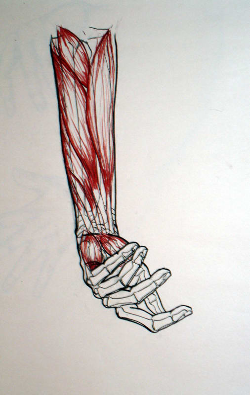 Anatomical Study- Forearm & hand