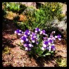 Iris_bicolore_kosanf