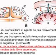 Role_du_frein_labial_g1yqoz