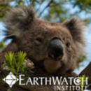 Study Abroad Reviews for Earthwatch: Australia - Conserving Koala Country