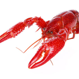 90 lbs. Live Crawfish | QUALITY Grade