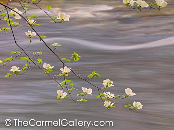 Spring_dogwood_merced_river_gkhlbn