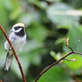 Male Golden-winged Warbler