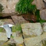 Black-legged Kittiwake in flight