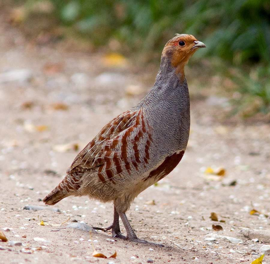 Gray Partridge - eBird...