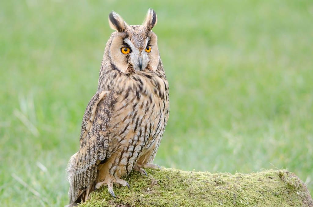 long eared owl ebirdr