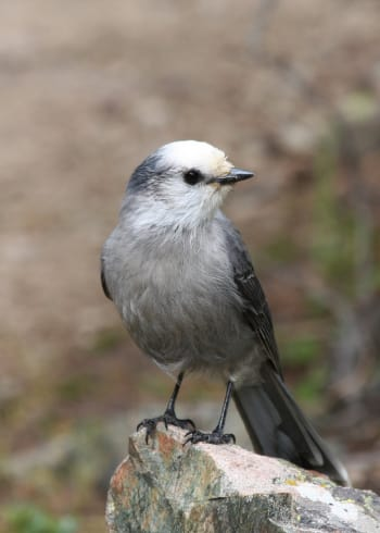 Gray Jay front view