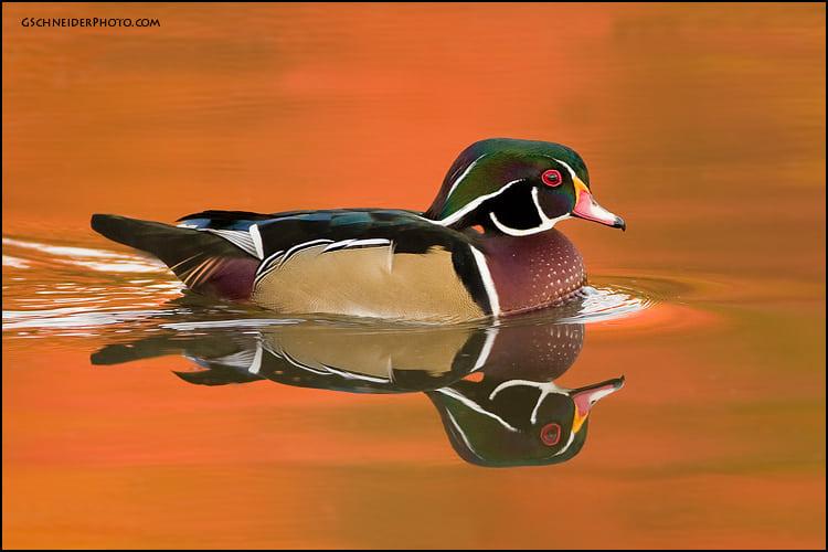 Wood Duck Ebirdr