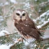 Northern Saw-whet Owl in spruce.
