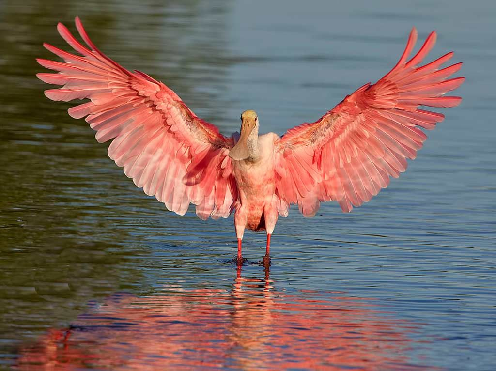 B And B Auto >> Roseate Spoonbill - eBirdr