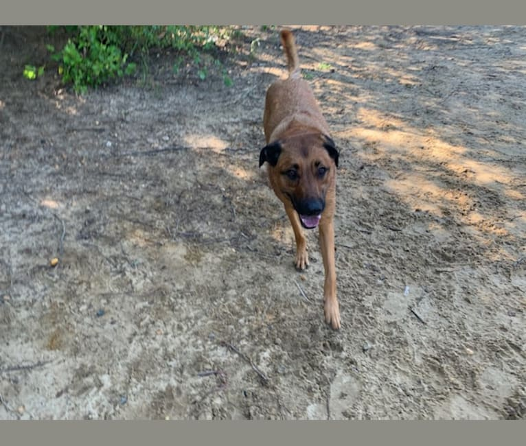 Photo of Vito, a Dutch Shepherd, Belgian Malinois, Black and Tan Coonhound, and American Pit Bull Terrier mix in Tennessee, USA
