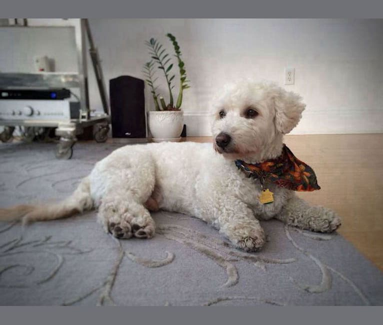 Photo of Aussie, a Schnoodle  in Boston, Massachusetts, USA