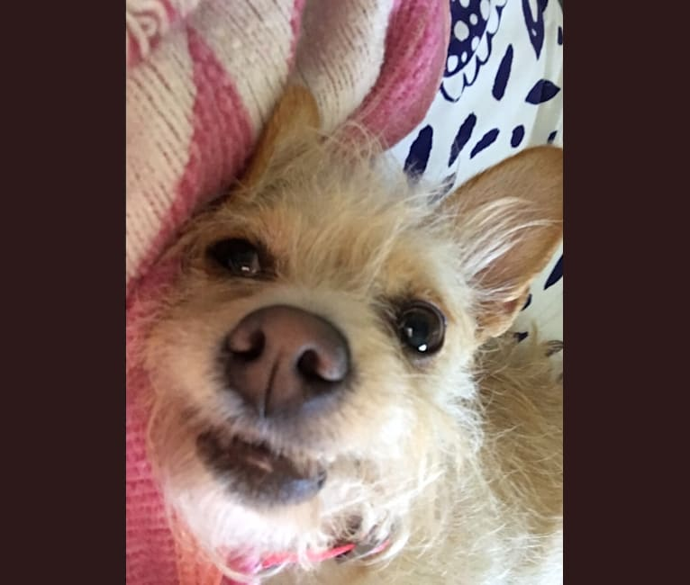 Photo of Lacey Girl, a Poodle (Small), Chihuahua, Shih Tzu, Miniature Pinscher, Russell-type Terrier, and Pomeranian mix in Diamond Bar, California, USA
