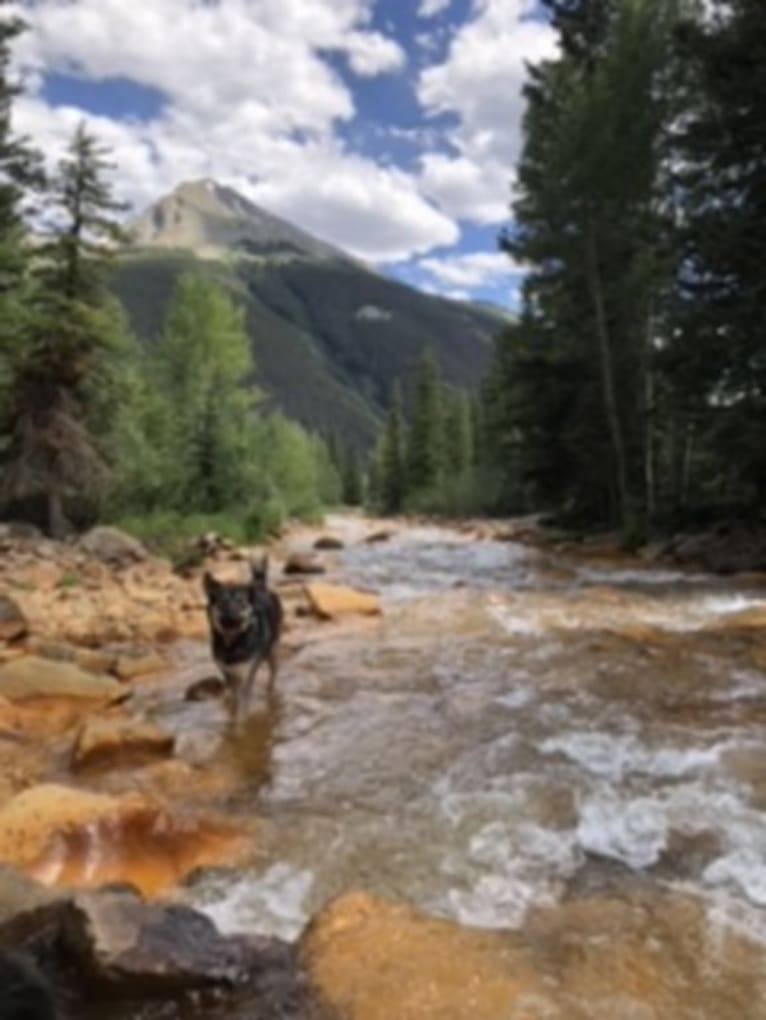 Photo of Allen, an American Pit Bull Terrier, Alaskan Malamute, Siberian Husky, Border Collie, and Mixed mix in Durango, Colorado, USA