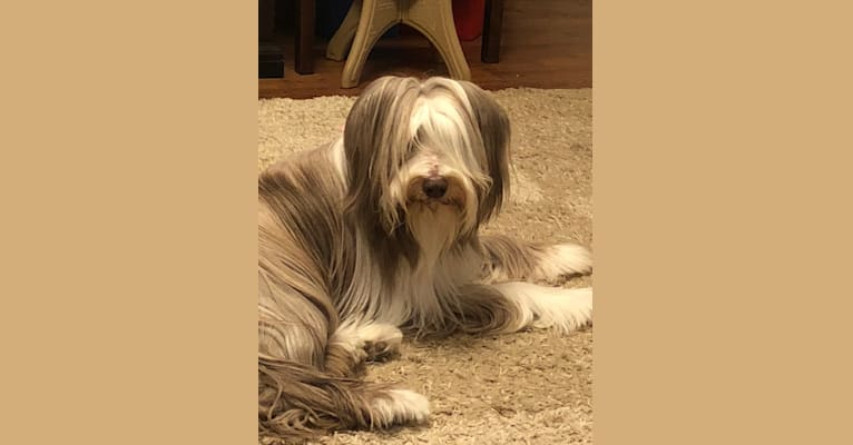 Photo of Bailey, a Bearded Collie