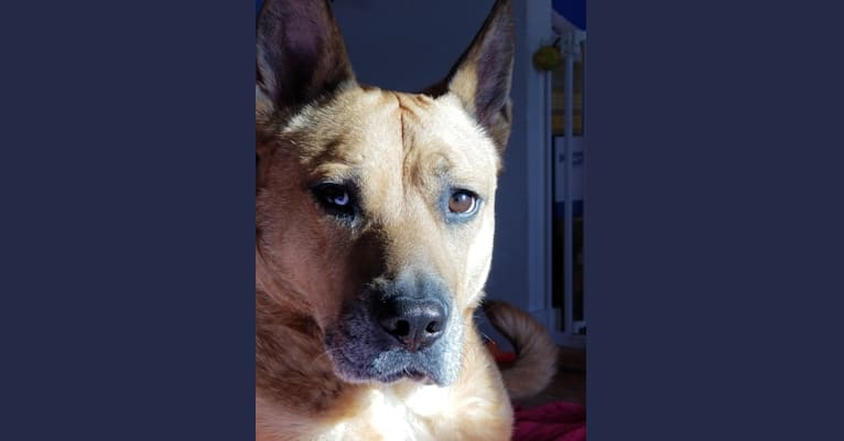 Photo of Runt, a Chow Chow, Staffordshire Terrier, and Labrador Retriever mix in Florida, USA