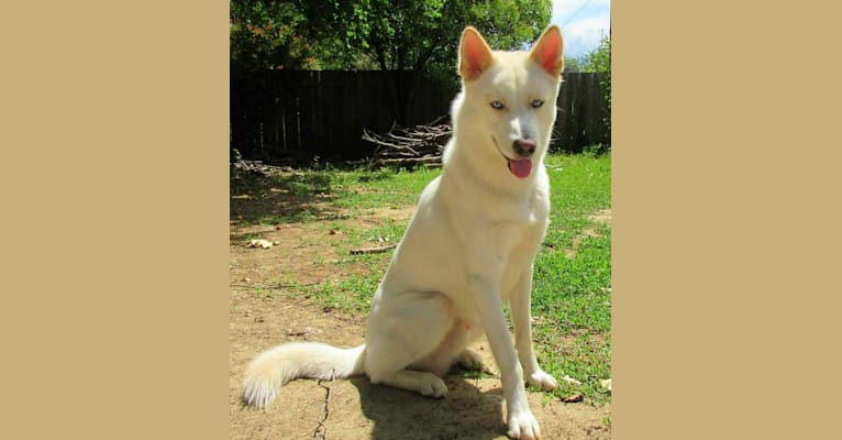 Photo of Snowbear, a Siberian Husky and German Shepherd Dog mix