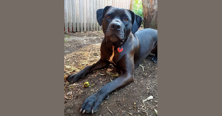 Photo of Lilly, a Cane Corso, American Bully, and Bulldog mix in Goondiwindi QLD, Australia