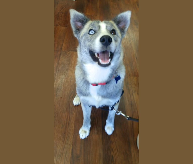 Photo of Sam, a Siberian Husky and Mixed mix