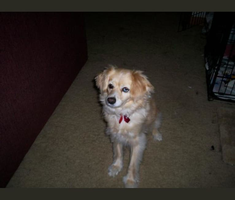 Photo of Missy, a Cocker Spaniel and Pomeranian mix in Canal Winchester, Ohio, USA