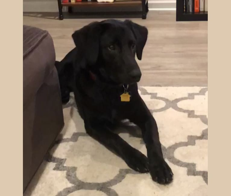 Photo of Colby, a German Shepherd Dog and Labrador Retriever mix in Tuscaloosa, Alabama, USA