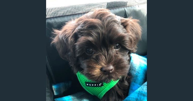 Photo of Felix, a Havanese  in Gloucester, Virginia, USA