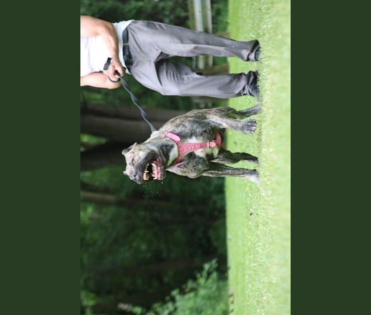 Photo of Remi, a Perro de Presa Canario  in Toledo, Ohio, USA