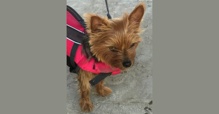Photo of Razzee, a Yorkshire Terrier  in Houston, TX, USA