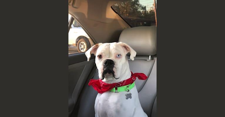 Photo of Bunnie, a Boxer  in Houston, Texas, USA