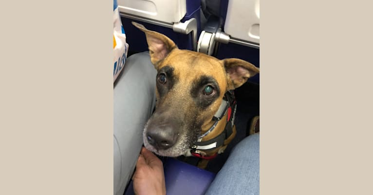 Photo of Takumi, an American Pit Bull Terrier and German Shepherd Dog mix in Port St. Lucie, Florida, USA