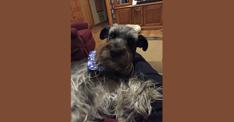 Photo of Zola, a Miniature Schnauzer, Border Collie, and Australian Cattle Dog mix in Pearland, Texas, USA