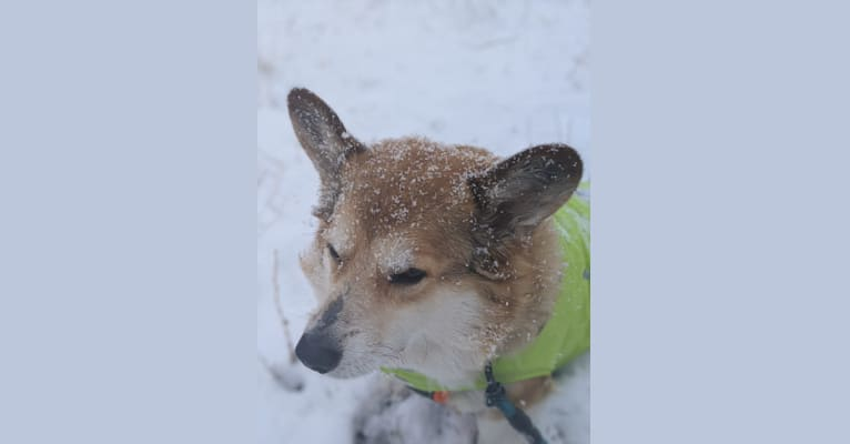 Photo of Dust Buster, a Pembroke Welsh Corgi  in Whitehall, Montana, USA