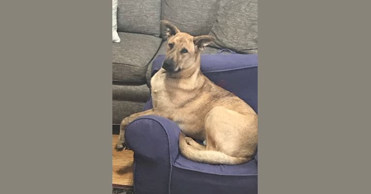Photo of Rudy, a Siberian Husky, Boxer, German Shepherd Dog, and American Pit Bull Terrier mix in San Bernardino, California, USA