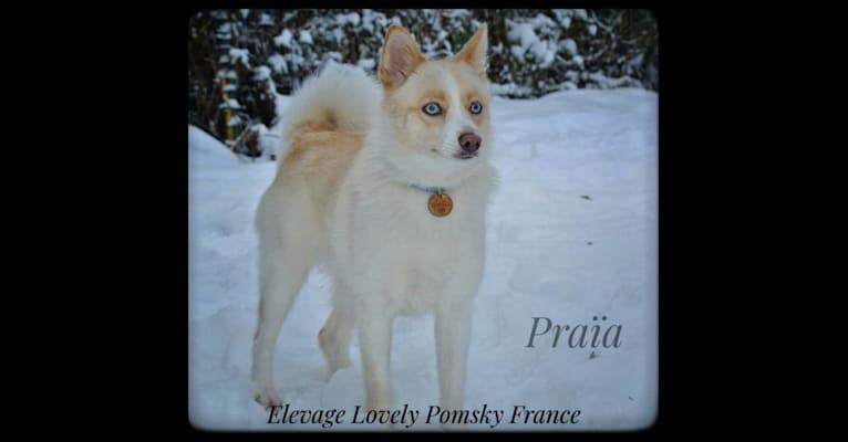 Photo of Praïa, a Pomsky  in Gripport, Grand Est, France