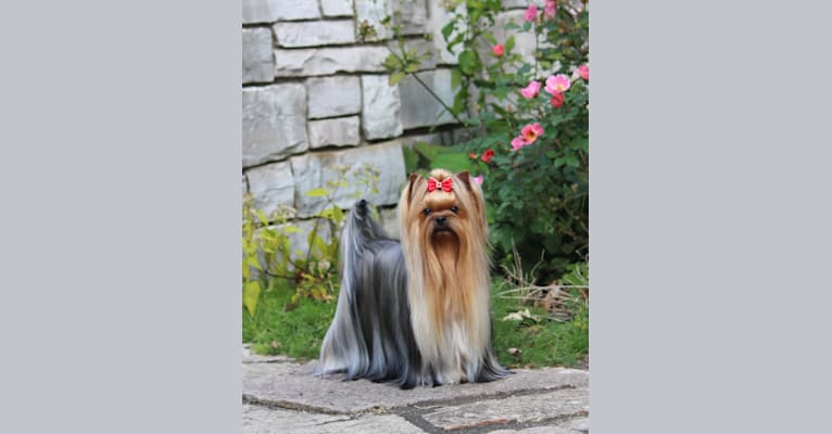 Photo of Lina, a Yorkshire Terrier  in Moscow, Russia