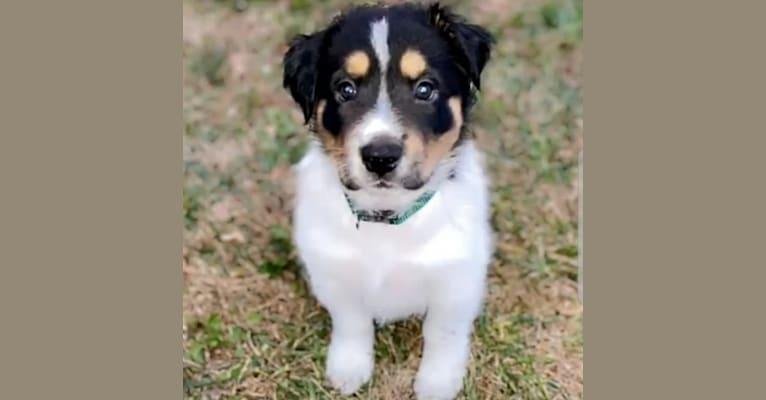 Photo of Koda, an American Pit Bull Terrier, German Shepherd Dog, Chow Chow, and Labrador Retriever mix in Homeward Trails Adoption Center, Fairfax Station Road, Fairfax Station, VA, USA