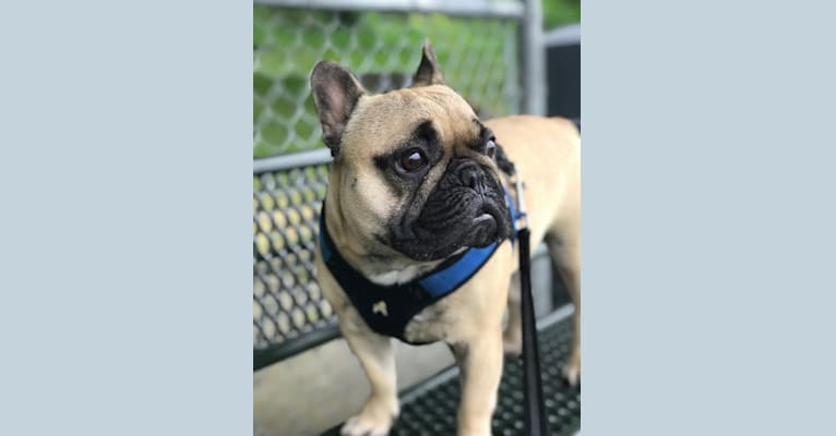 Photo of Henry, a French Bulldog  in Bellingham, WA, USA