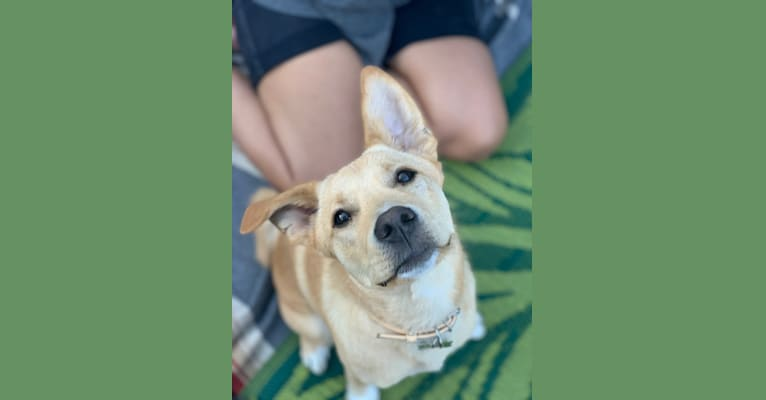 Photo of Pony, an East Asian Village Dog  in Los Angeles, California, USA