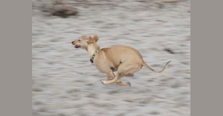 Photo of Remy, a Chihuahua, Poodle (Small), and Mixed mix in Phoenix, Arizona, USA