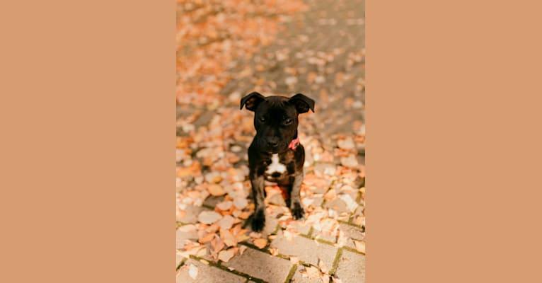 Photo of Nala, a Staffordshire Bull Terrier  in Newberg, Oregon, USA