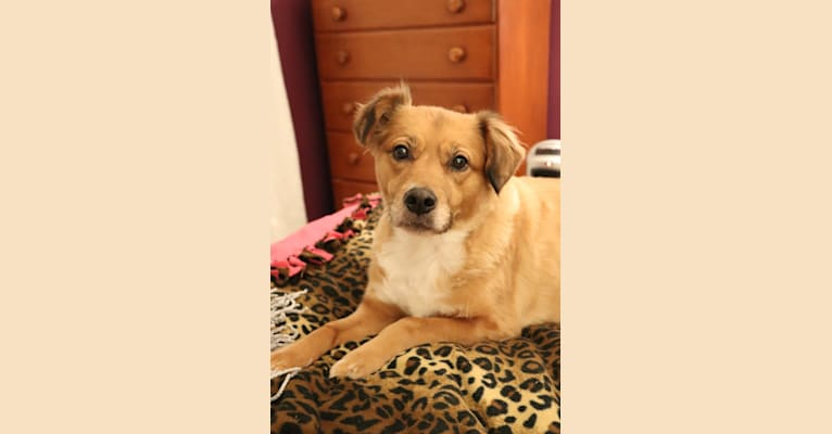 Photo of Chessie, an American Pit Bull Terrier mix in North Carolina, USA