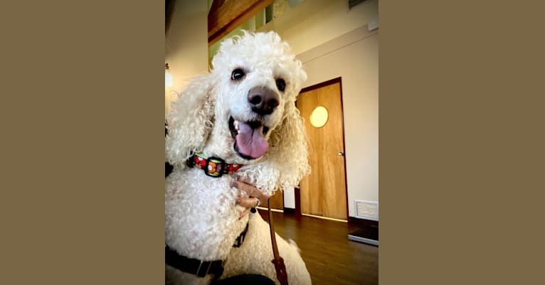 Photo of Cha-Chi, a Poodle (Standard)  in New Jersey, USA