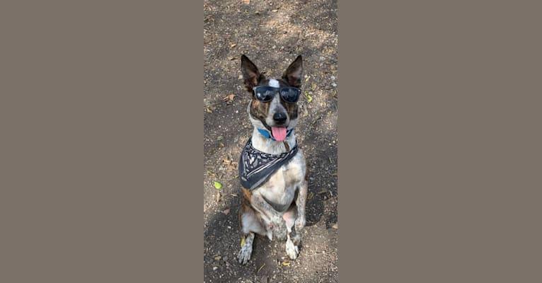 Photo of koda, an Australian Cattle Dog, Boston Terrier, and Border Collie mix in Austin, Texas, USA