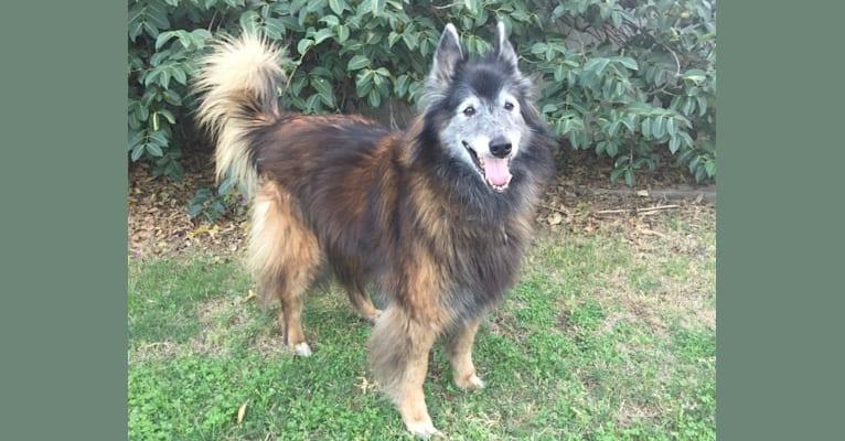 Photo of Ace, a Belgian Shepherd