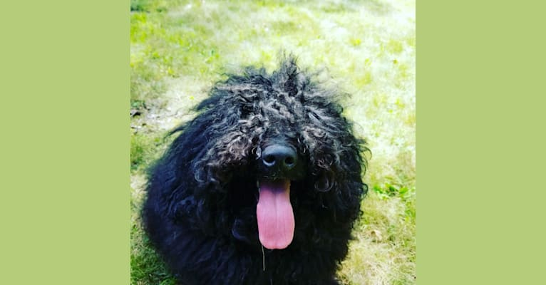 Photo of Goulash, a Puli  in Hungary
