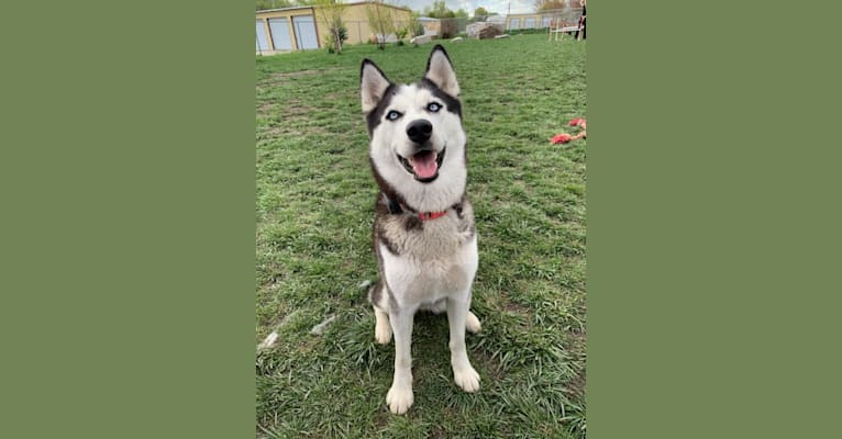 Photo of Rose, a Siberian Husky and Alaskan Malamute mix in West Valley City, UT, USA